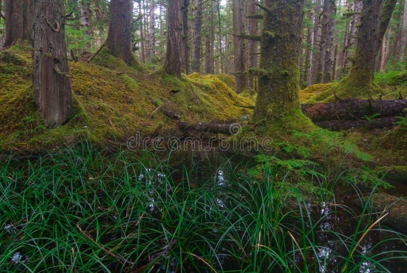Stagno della foresta con il cedro e l'abete rosso di vecchio-crescita fotografie stock