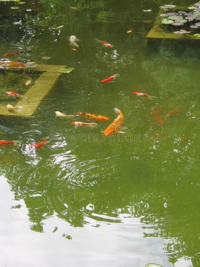 Stagno di pesci fotografie stock libere da diritti