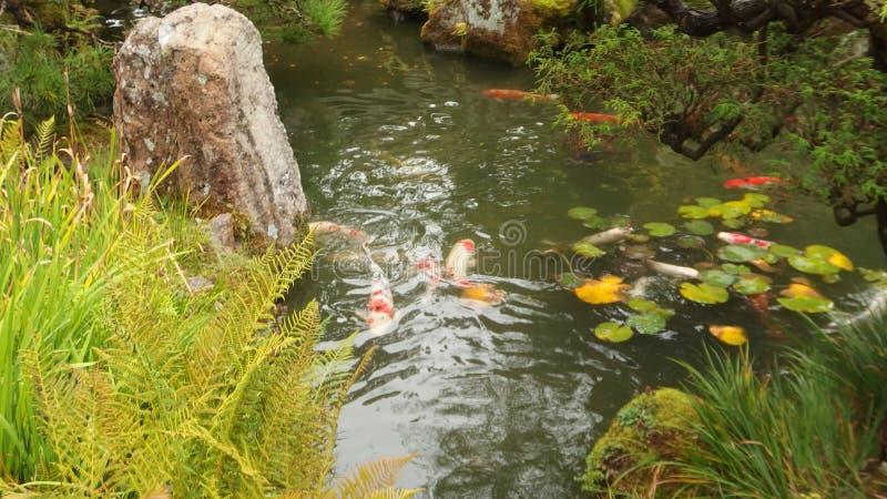 Stagno giapponese del giardino con i banchi del pesce brillantemente colorato fotografie stock libere da diritti