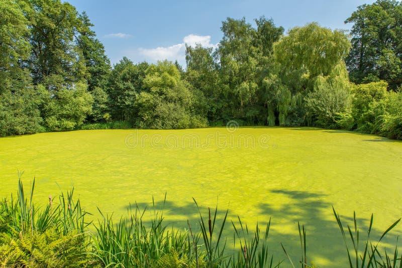 Stagno olandese della foresta coperto di lemma verde fotografie stock libere da diritti