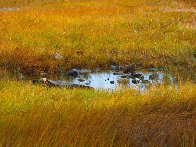 Stagno in un prato giallo erboso in Maine fotografie stock