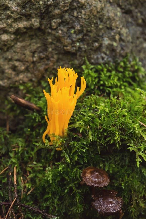 Stagshorn amarelo, viscosa de Calocera fotos de stock