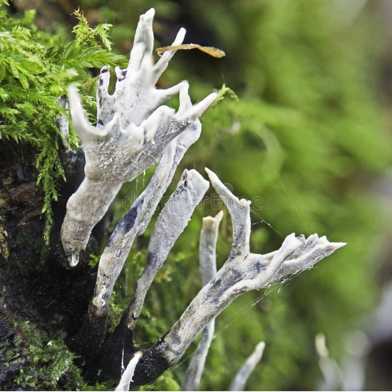 Stagshorn fungus. Seen in Roddlesworth Woods, Roddlesworth, Lancashire, UK royalty free stock images