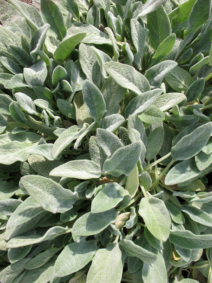 Download Stahis Woolly Or Chistets (Stachys) Stock Photo - Image: 16910448