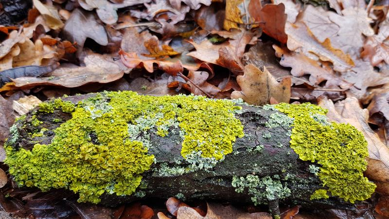 Stains of bright green moss on brown tree bark of weathered wood log royalty free stock photo