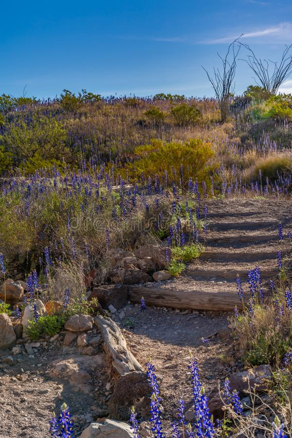 Stairs down into Tuff Canyon with afternoon sun. Covered with blue bonnets stock photo