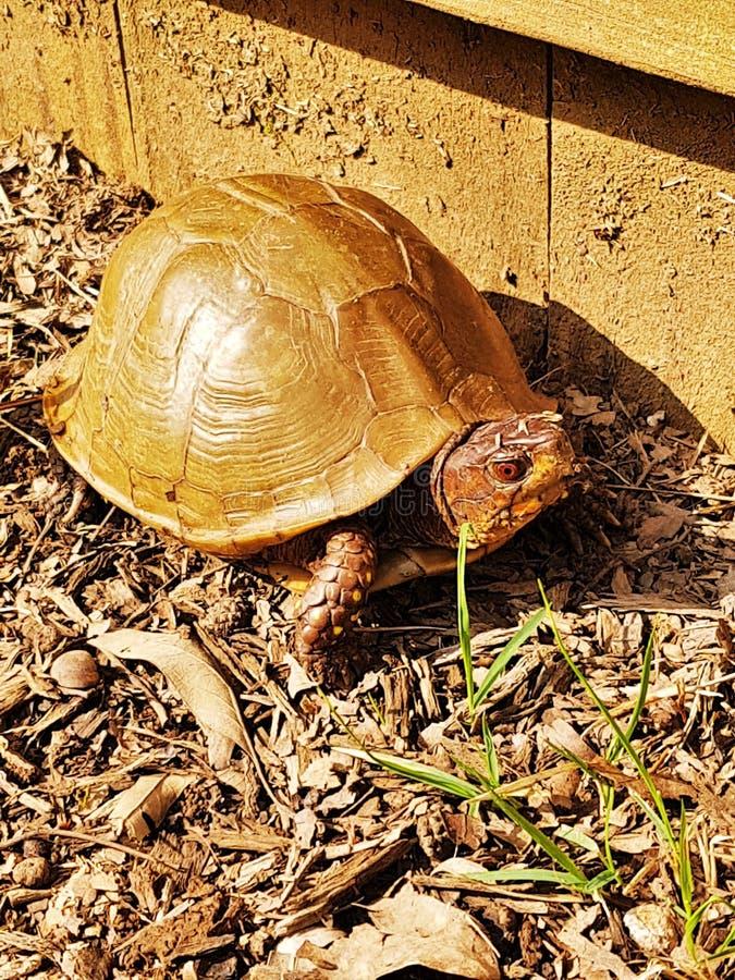 stający Pudełkowaty żółw obraz stock