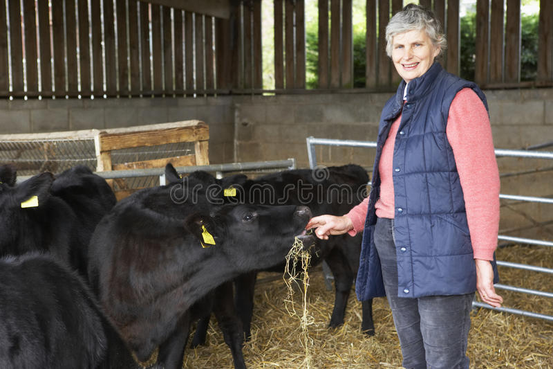 stajni bydła rolnika karmienie obraz stock