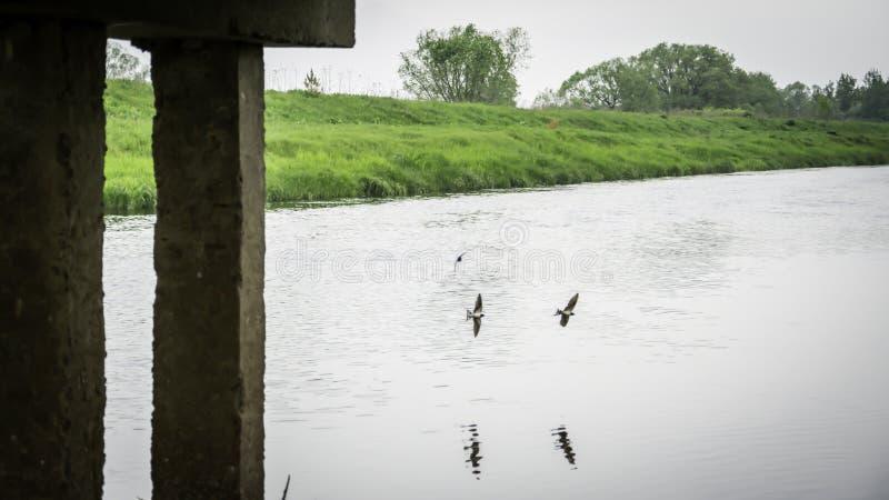 Stajni dymówki komarnica blisko mostu obrazy royalty free