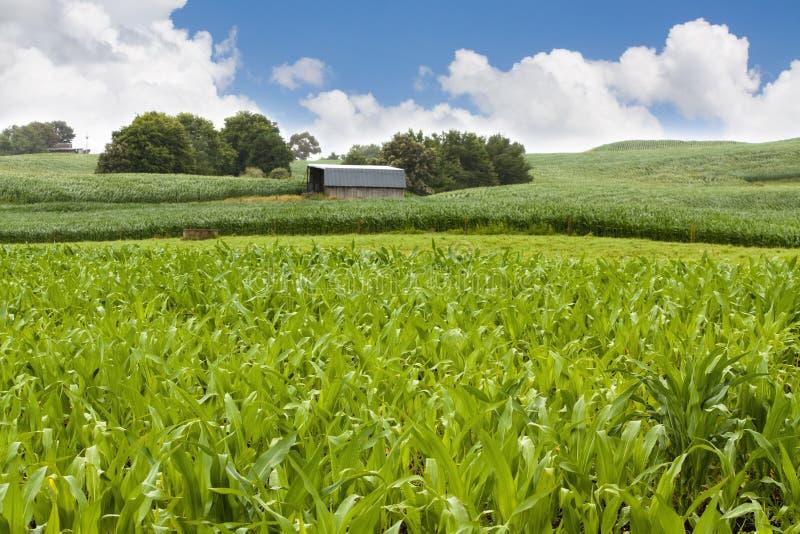 stajni pole kukurydzany rolny obrazy stock