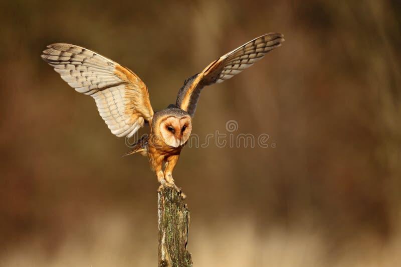 Stajni sowy lądowanie z rozszerzaniem się uskrzydla na drzewnym fiszorku przy wieczór obrazy stock