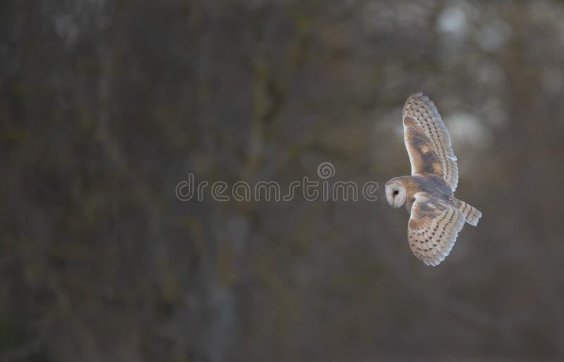 Stajni sowy latanie obrazy stock