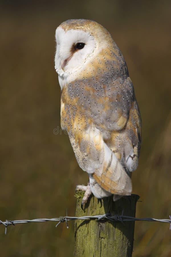 Stajni sowy Tyto alba ptak zdobycz zdjęcia stock