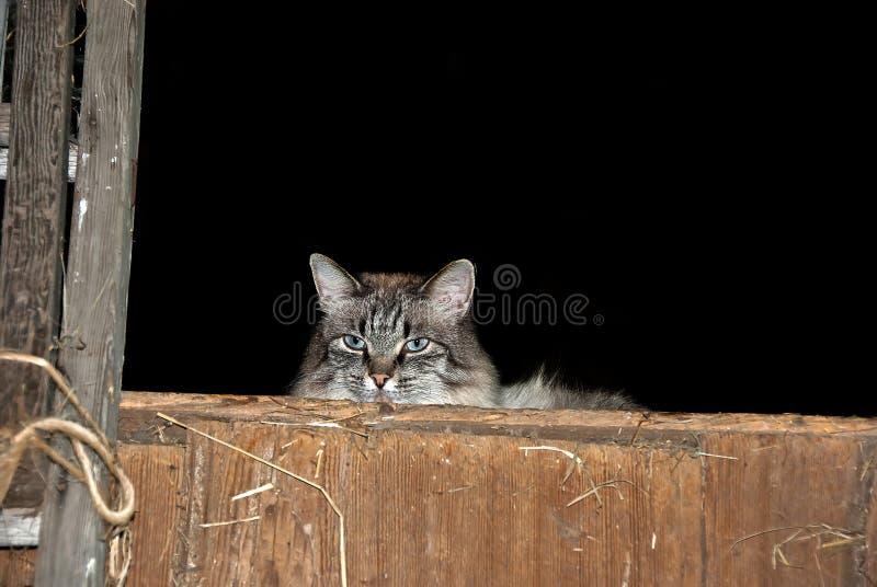 Stajnia kot w siana loft zdjęcie stock