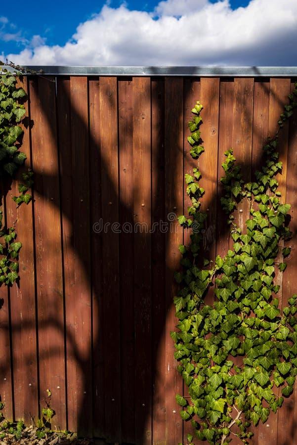 Staket av plankor som täckas med den gröna murgrönan royaltyfri bild