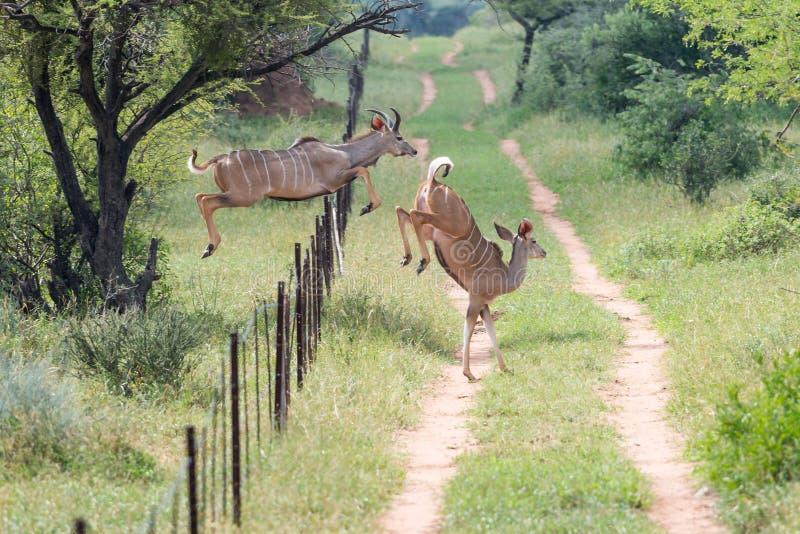 Staket för Kudu tjur- och kobanhoppning fotografering för bildbyråer