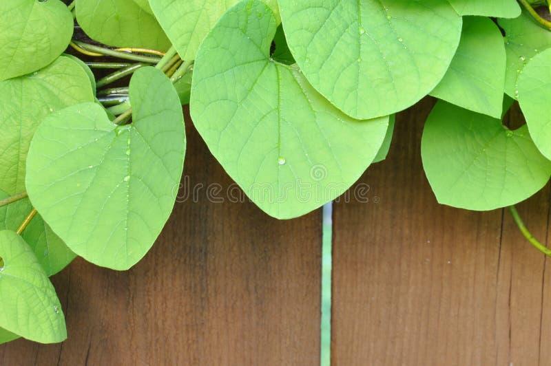 Staket som täckas av gröna murgrönasidor arkivbild