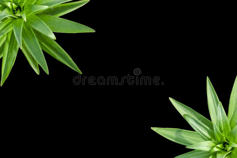 Stalk and leaves of a garden lily, view from above. Sprout lily close up. Green stem with sharp leaves, black background, mystical. On a black background from stock image