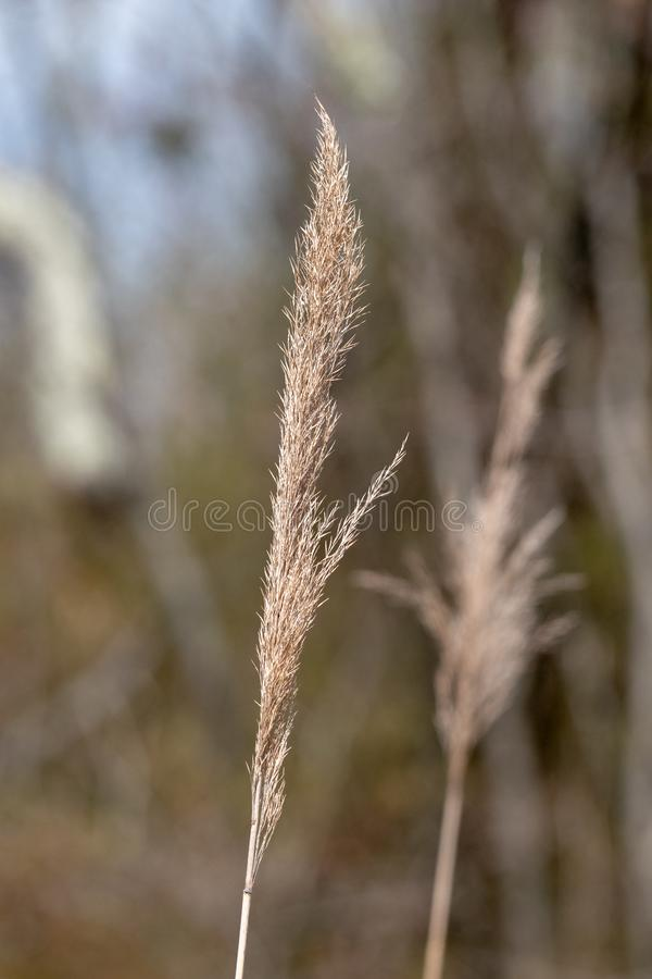 A stalk of marsh grass closeup. A single stalk of marsh grass closeup with a distant stalk in the background blur stock images