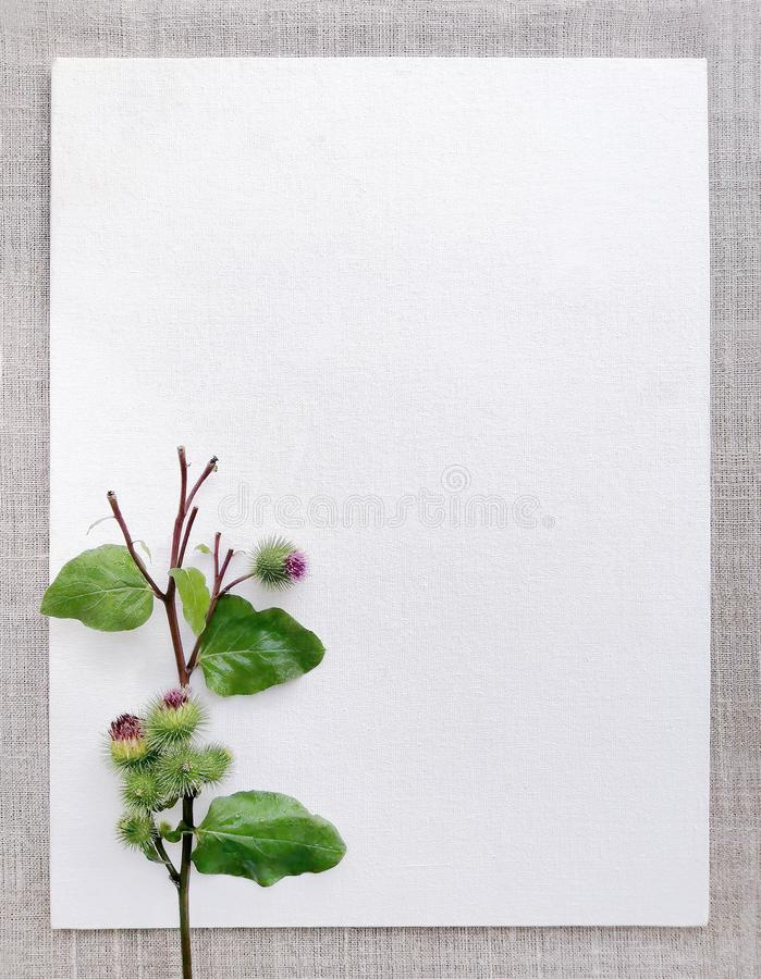 A stalk, a pink flower of a turnip leaf, a healing burdock on a white frame canvas background. Top view, close-up. Template for advertising, social networks royalty free stock photography