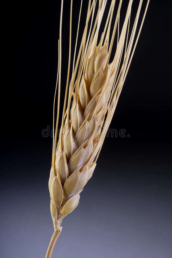 Stalk of wheat. A single stalk of ripe wheat stock image