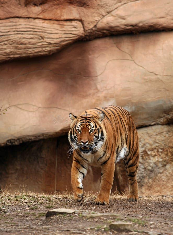 Download Stalking Bengal Tiger stock image. Image of tiger, pacing - 4604387