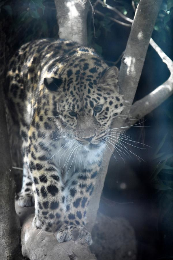 Wild big cat walking on a large log while stalking royalty free stock photography
