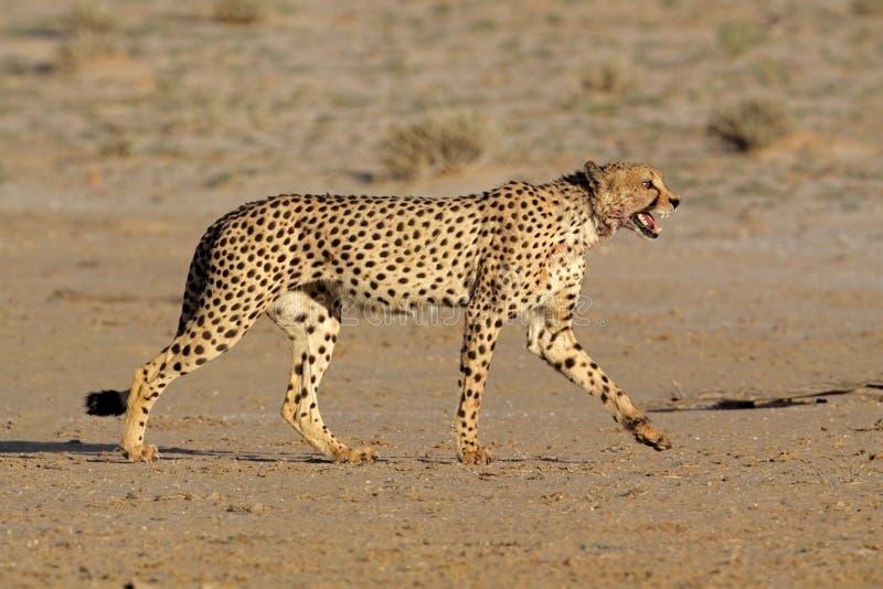 Download Stalking Cheetah Royalty Free Stock Images - Image: 12792259