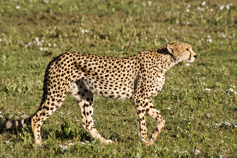 Stalking Cheetah in Serengeti stock images