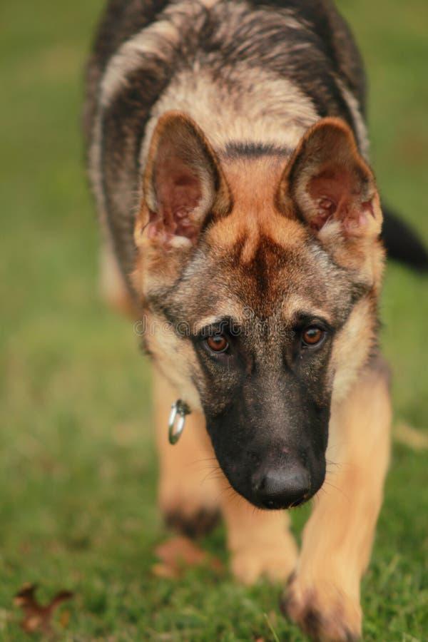 Download Stalking Dog stock photo. Image of sable, eyes, black - 16705106