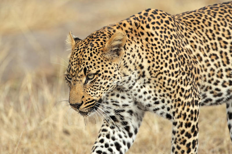 Stalking leopard stock photography