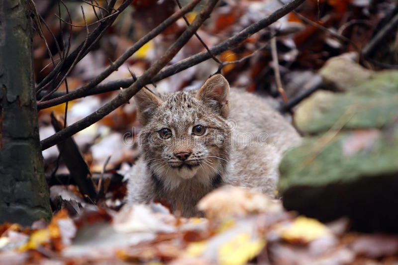 Download Stalking Lynx stock image. Image of wild, animals, wildlife - 11535043