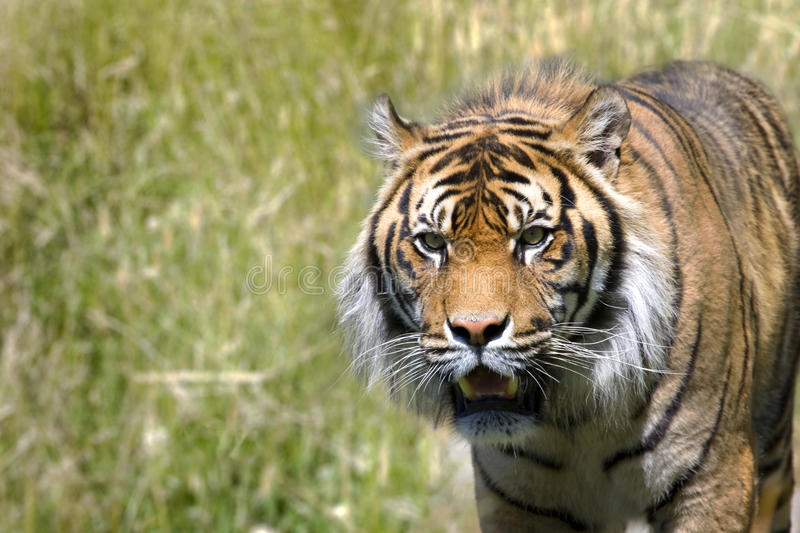 Download Stalking Tiger stock photo. Image of hunting, wild, stalking - 12514612