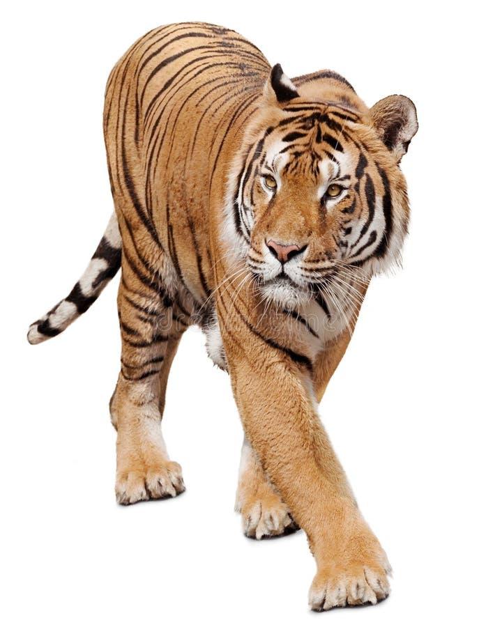Free Stalking Tiger Royalty Free Stock Images - 157849819