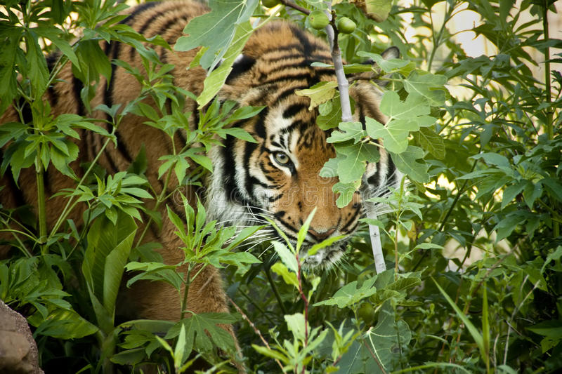 Stalking Tiger peers through the branches stock photos