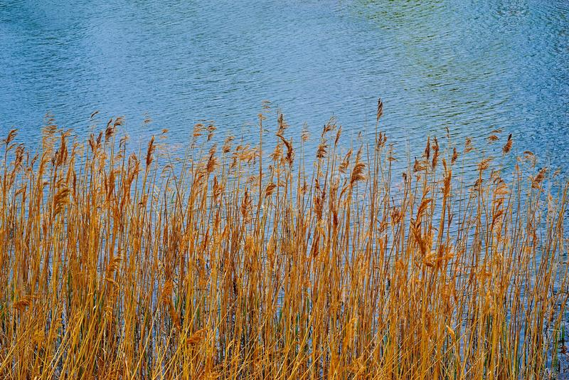 Stalks of dry yellow grass on the background of water stock image