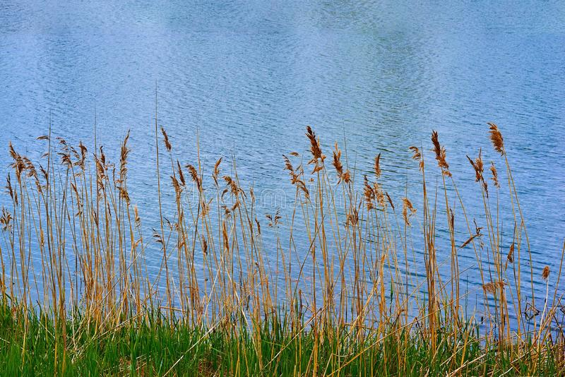 Stalks of dry yellow grass on the background of water royalty free stock photo