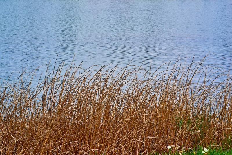 Stalks of dry yellow grass on the background of water stock photography