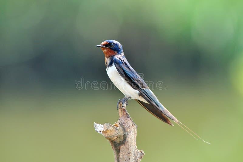 Stall-Schwalbenschwarzweiss-Vogel stockbild