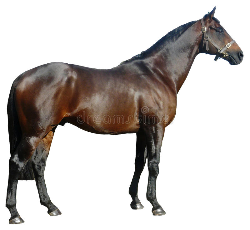 Download Stallion Stock Photo - Image: 11625730