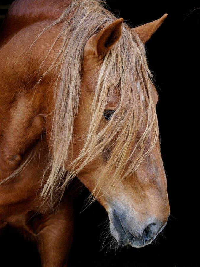 Download Stallion Against Black Background Stock Photo - Image: 24482404