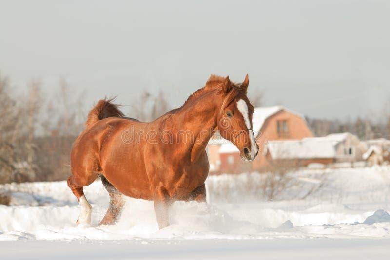 Stallion arabo fotografie stock