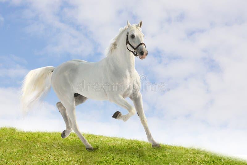 Stallion bianco immagine stock libera da diritti