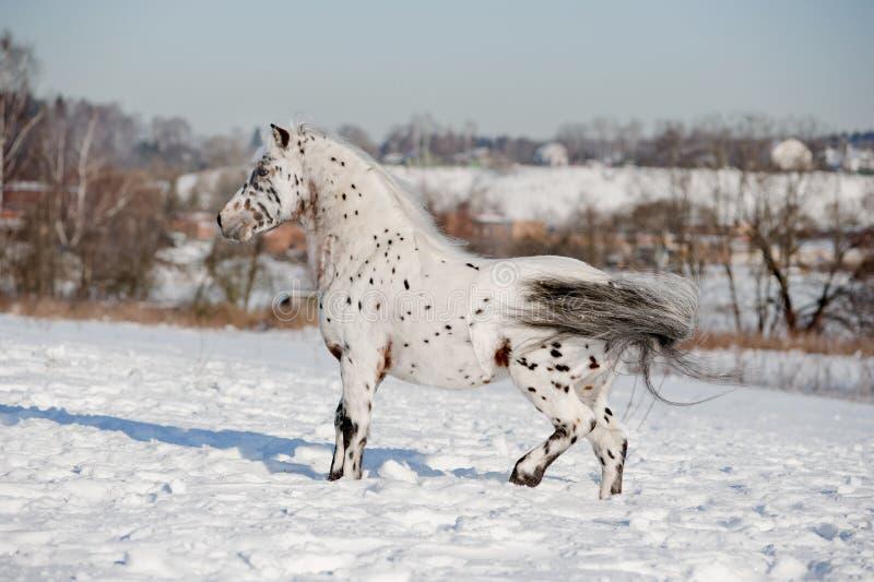 Stallion del cavallino di Appaloosa fotografie stock libere da diritti