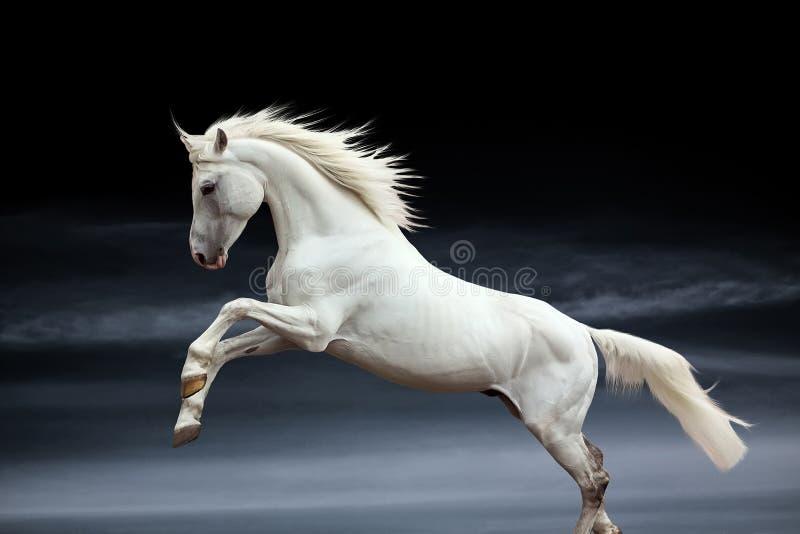 Stallion di Orlov immagini stock
