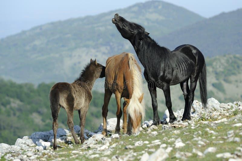 Stallion E Cavalla Immagine Stock Libera da Diritti