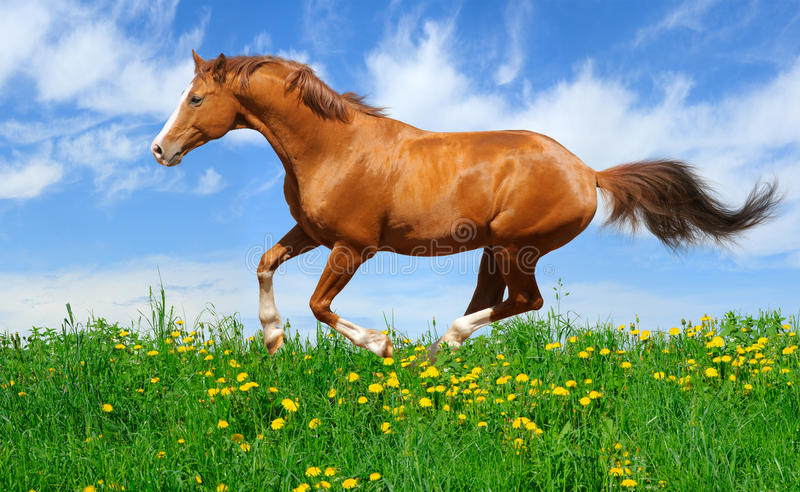 Download Stallion gallops in field stock photo. Image of sorrel - 13158836