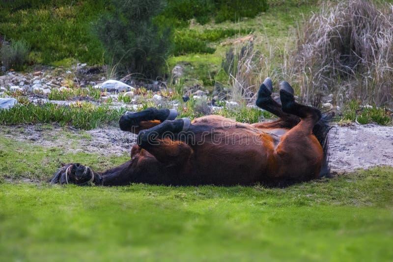 Stallion horse rolling on grass enjoying himself. stock image