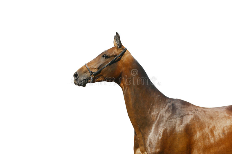 Stallion isolated royalty free stock images