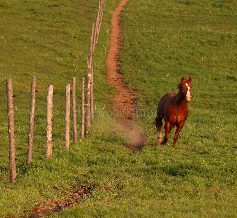 Stallion läuft abwärts lizenzfreie stockbilder